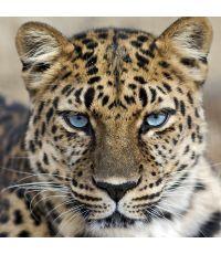 Toile 45x45 portrait leopard