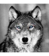 Toile Loup aux yeux bleus 45x45cm