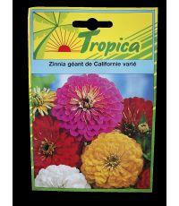 Zinnia géant de Californie - TROPICA